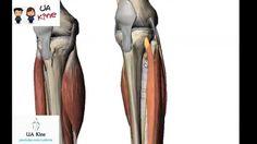 Anatomía Musculos Pierna , Origen Inserción, Inervación y Función
