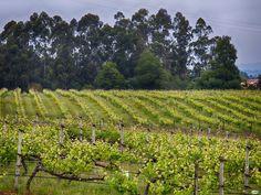 Ruta del vino Albariño y Alvarinho te introduce en los mejores vinos blancos de…
