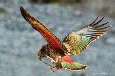 kea bird - Buscar con Google