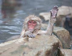 macaque-japonais - Recherche Google