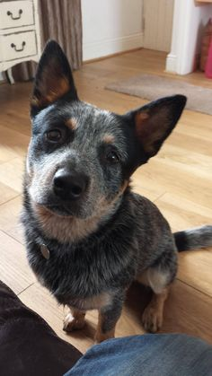 That awkward moment when you realize the adopted dog you always thought was a Shiba Inu mix is really an Australian Cattle Dog.