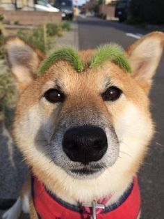 Shiba with beautiful green eyebrows...