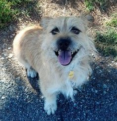 Luigi is an adoptable Cairn Terrier Dog in Loomis, CA. Luigi is now available for adoption and can be seen at Placer County Animal Services, 11251 B Avenue, Auburn. For more info about Luigi, please c...