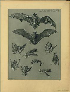 Animal Bat group anatomy