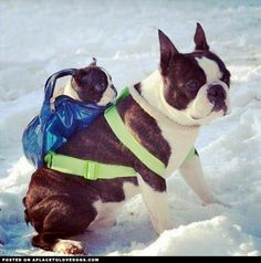 Adorable Boston Terriers  Two Boston Terriers in the snow , well really only one…