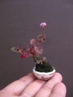 盆栽:丈の高い木は、よく転がるの画像   春嘉の盆栽工房