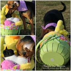 No Easter Egg goes unfound by Luna and her beagle nose. The hunt for the all the Easter Eggs begins! #atozchallenge #beaglesandbargains http://www.beaglesandbargains.com/no-easter-egg-goes-unfound-atozchallenge/