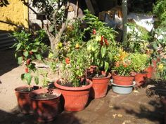 Mix of peppers at home (marzo 2014), with some tomatoes