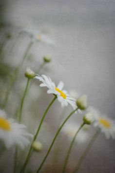 Daisy Wall Art Vertical Photograph White Gray by PureNaturePhotos #PureNaturePhotos  #etsyfind #chaoscurators
