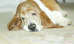 Dudley, my first Basset Hound was as adorable at 11yrs old as he was as a puppy.