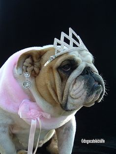 Norma the English Bulldog wants to be a Beauty Queen by itsmetj, via Flickr