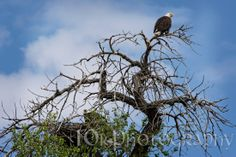 """05/08/14 - """"Papa's"""" perched to keep watch.  Parents warning each other of a closely approaching hawk"""