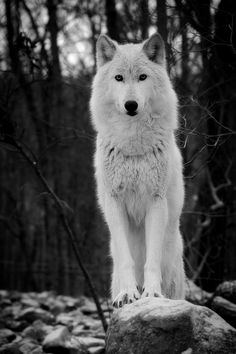 photography animals Black and White wolf MY EDIT trees b&w perspective view nature outdoors forest bw branches white wolf b&w photography Arktischer Wolf, Wolf Husky, Wolf Love, Lone Wolf, Wolf Photos, Wolf Pictures, Beautiful Creatures, Animals Beautiful, Cute Animals
