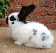 Bunny Gifts added a new photo. Baby Bunnies, Cute Bunny, Bunny Rabbits, English Spot Rabbit, Hare, Animals, Photos, Moon, Videogame Art