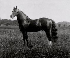 USGMHF Scotland, 6000, stallion, chestnut, 15.2, white stripe on face, 2 white hind socks, foaled 25 JUN 1906, breeding USARS. Sired 34 foals on record: Gelding 1, Mare 23, Stallion 10. black 3,  brown 1, chestnut 27. Sire General Gates, No. 666 (1894), Dam Highland Mary No. 01033 (1893). A Morgan horse of very elegant proportions and pure trotting action. Went to US Army Remount Service in 1922.   Scotland also active at Weybridge with carriage driving.