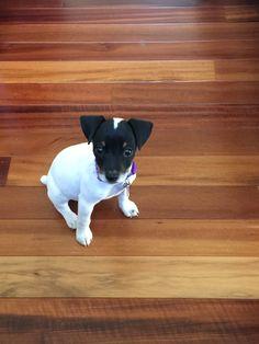 rat terrier puppies craigslist | Cute Baby Animals ...