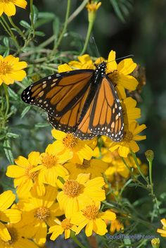 Butterflies - Monarch Butterfly - Santa Cruz Bridges State Park | Flickr - Photo Sharing!  They migrate down our coast to Mexico.