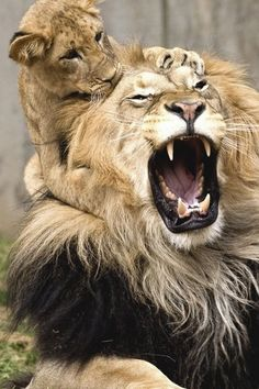 Baby lion getting on Dad's last nerve...