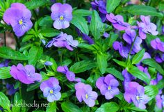 Violets symbolize love, affection and modesty, but did you know their oil is a precious rarity? Violet oil contains vitamin A, C, and antioxidants. Its moisturizing benefits are good for dry, aging skin. It heals acne sores, pimples, and large pores. The
