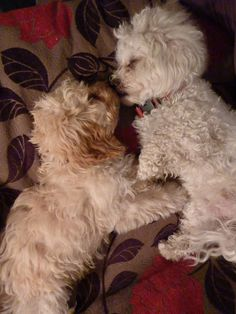Cockapoo love! Completely adorable!