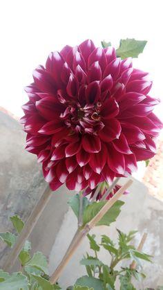 #Dylia_flower_2020 Latest Dpz, Flower, Plants, Plant, Flowers, Planting, Planets