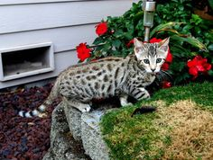 Savannah Kittens - 3 months old Savannah Kitten, Kitten For Sale, 3 Month Olds, Teacup, 3 Months, Cats And Kittens, Exotic, Cute, Animals