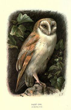 https://flic.kr/p/ac4pjc | n213_w1150 | Familiar wild birds. v.1. London ; New York :Cassell,1883. biodiversitylibrary.org/page/23905426