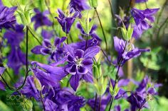 Purple by MarilenaIordache #nature #mothernature #travel #traveling #vacation #visiting #trip #holiday #tourism #tourist #photooftheday #amazing #picoftheday