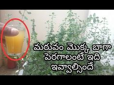 Hlo frnds wlcm to my channel Frnds in the above video discuss about how to prepare best liquid fertilizer for maruvam.