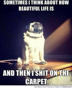 Funny pug: Sometimes I think about how beautiful life is and then I sh*t on the floor. More humor at Crazy Hyena. Haha Funny, Funny Cute, Funny Dogs, Cute Dogs, Funny Animals, Cute Animals, Funny Memes, Funniest Memes, Hilarious Stuff