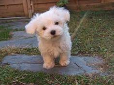 Bildresultat för små hundraser som inte fäller