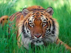 Elegant Tiger ♡ - Tigers Photo (35204111) - Fanpop