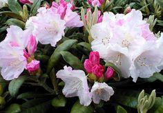 """Yaku Princess Rhododendron - Very Hardy - Spectacular - 4"""" Pot - Hirt's Gardens"""