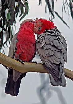 Galahs are totally devoted to each other :))