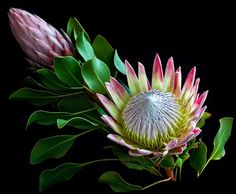 King Protea Flower and Bud: Photo by Photographer Linda G Yee - Modern Rare Flowers, Exotic Flowers, Tropical Flowers, Amazing Flowers, Beautiful Flowers, Flowers Uk, Protea Art, Protea Flower, Bouquets