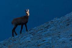 Morning spotlight on a yearling Apennine chamois (Rupicapra pyrenaica ornata) - Italy - Bruno D'Amicis