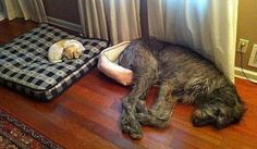 Meet These 24 Super-sized Dogs Who Think They Are Tiny Puppies! Funny Dog Beds, Cool Dog Beds, Funny Dogs, Doggie Beds, Funny Animal Photos, Funny Animals, Pet Photos, Dog Ramp For Bed, Pallet Dog Beds