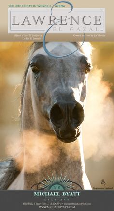 Him Friday with Michael Byatt Arabians... Lawrence El Gazal :: Arabian Horses, Stallions, Farms, Arabians, for sale - Arabian Horse Network, www.arabhorse.com