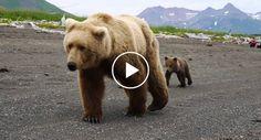 Turistas Vivem Momento Intenso Quando Mãe Ursa e Suas Crias Passam Por Eles http://www.desconcertante.com/turistas-vivem-momento-intenso-mae-ursa-crias-passam-eles/
