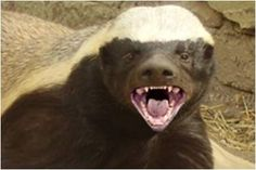 """""""GET OFF MY GEARS!!!"""" said Honeybadger."""