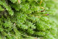 "Anomodon minor ""rounded tongue moss"" sporophytes"