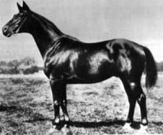 Tempelhüter, who was chief sire in Trakehnen 1916-1931 was considered as the perfect example of the Trakehner horse. As illustration of his unrivaled significance, a statue of this magnificent stallion was erected in front of the Castle at Trakehnen where it remained until being taken as war booty to Russia after World War II. It was placed in fron of the Russian Horse Museum in Moscow. An exact replica of it was made possible in the early 1970s by efforts from Hans-Joachim Köhler.
