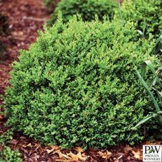 Shrub Source - Buxus - North Star Boxwood, $19.99 (http://shrubsource.com/shop-all-shrubs/buxus-north-star-boxwood/)