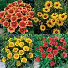 Also known as blanket flowers, our native Gaillardia are as easy-to-grow as they are colorful. Just find a hot, sunny spot with well-drained soil and you've got a Gaillardia garden! Included in the sampler are 1 plant each of Gaillardia 'Amber Wheels', 'Arizona Apricot', 'Arizona Red Shades' and 'Arizona Sun' for a total of 4 plants. Zones 5-9.