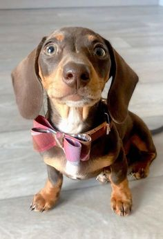 Beagle Poodle Mix, Weenie Dogs, Dachshund Puppies, Cute Puppies, Doggies, Unique Dog Breeds, Cute Dogs Breeds, Baby Dachshund, Baby Dogs