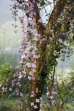 1000 images about clematis paintings on pinterest clematis