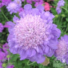 Mariposa Blue ~ Full Sun, flowers appear in early summer and attracts butterflies!