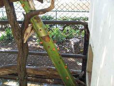 Francois Monkey Enrichment (Banana Stalk) - Animal Enrichment : Honolulu Zoo