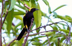 Foto rouxinol-do-rio-negro (Icterus chrysocephalus) por Marco Guedes | Wiki Aves - A Enciclopédia das Aves do Brasil