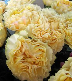 Soft yellow campanella garden roses Peach Flowers, Love Flowers, Diy Flowers, Yellow Flowers, Beautiful Flowers Garden, Beautiful Roses, Beautiful Gardens, Hot Lips Plant, Heirloom Roses